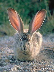 rabbit-ears
