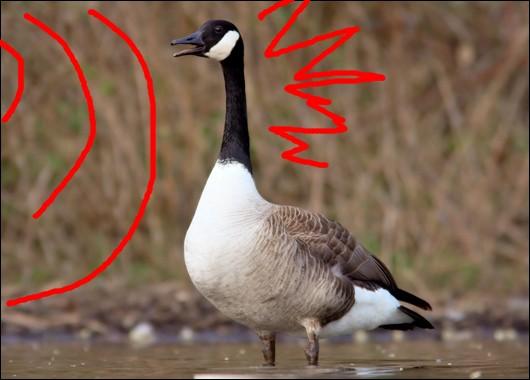 canadian_goose