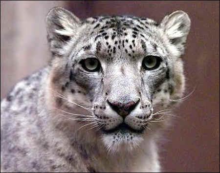 snow_leopard_face_shot_photo