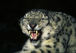 scaledsnow-leopard