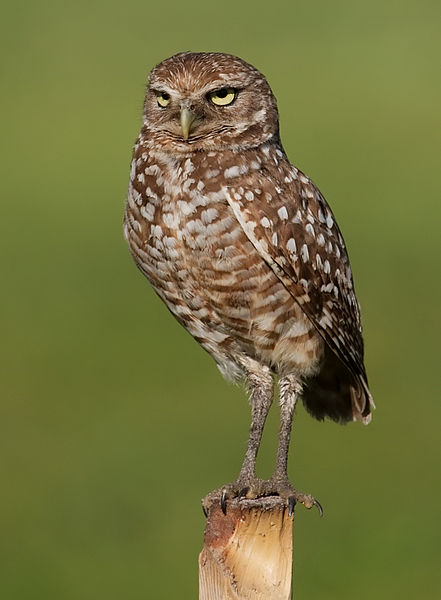 The true culprit behind our housing problems: let us deflect blame to Mountain View's burrowing owl!