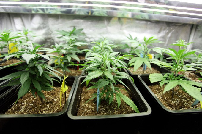 Marijuana crop growing indoors