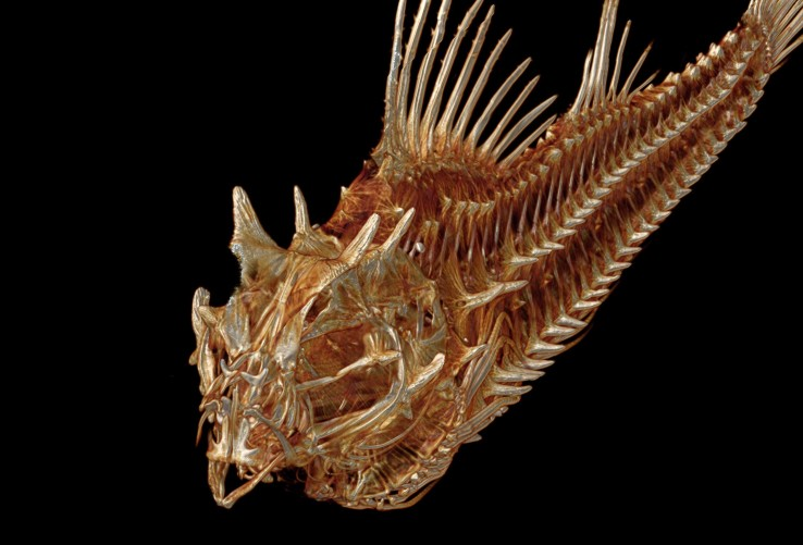 Hypsagonus-quadricornis-Fourhorn-poacher