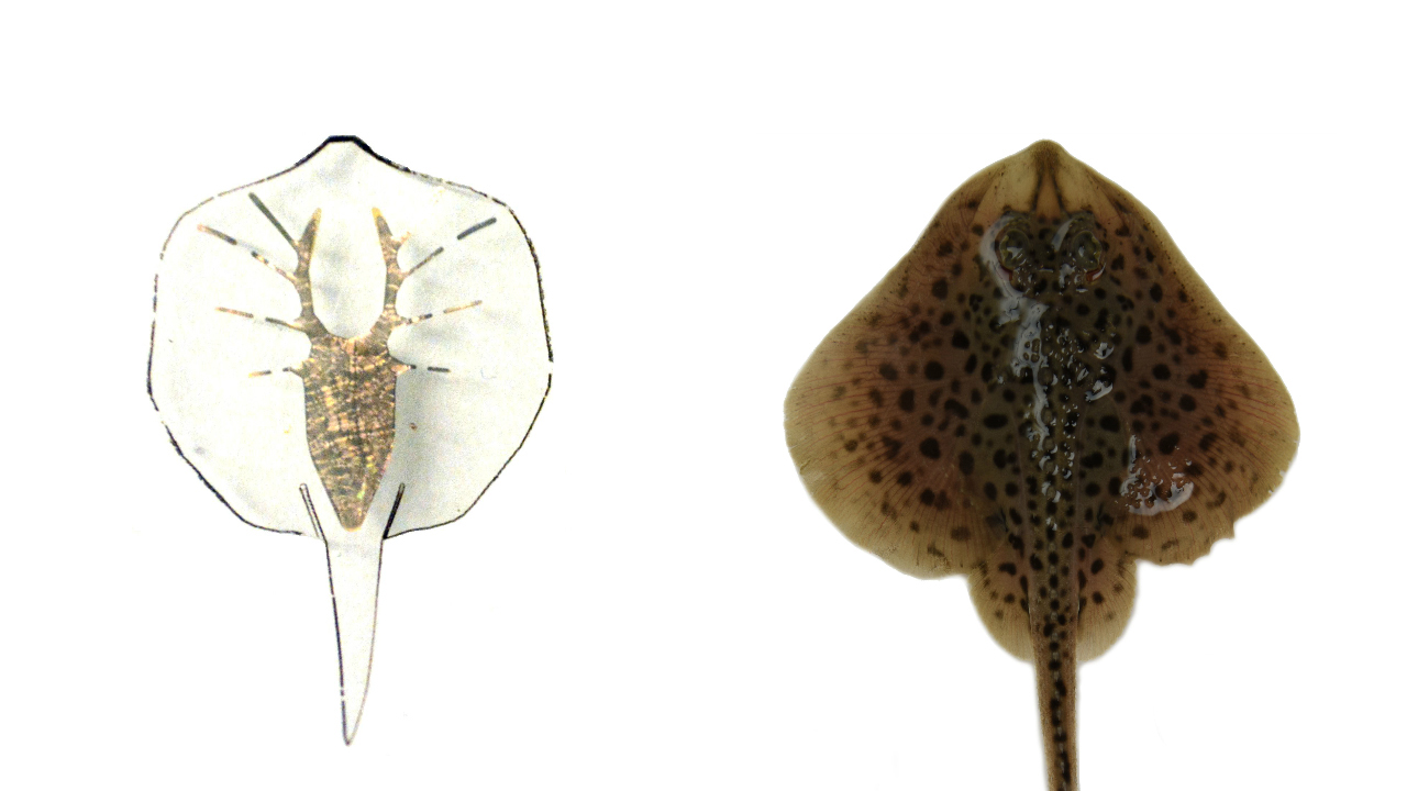 This artificial stingray has a gold skeleton and light-activated rat ...