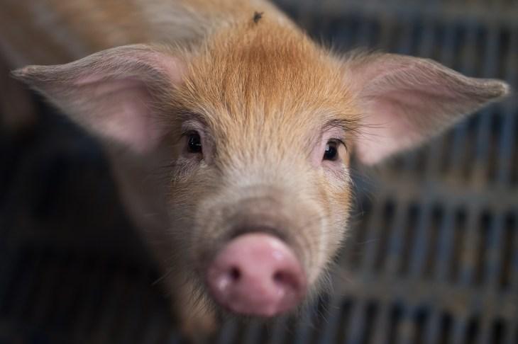CRISPRd Pigs Could Produce Low Fat Bacon