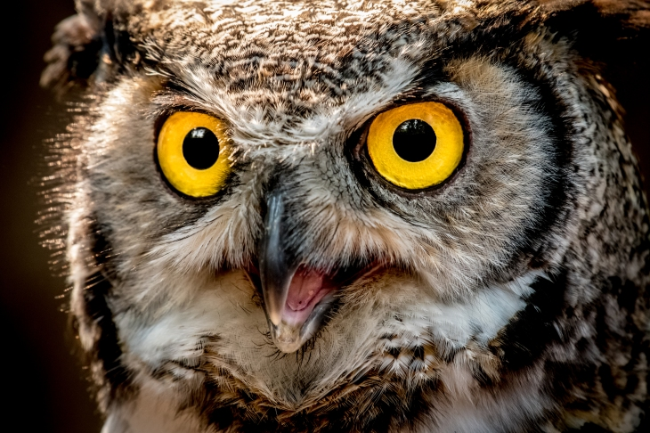 Portrait of a Great Horned Owl, British Columbia, Canada