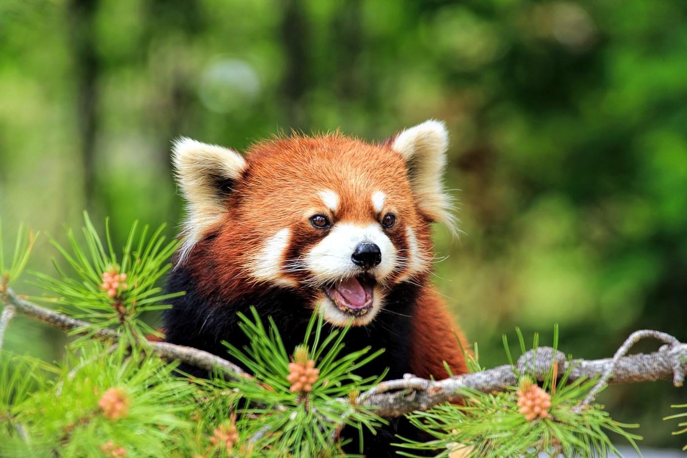 Primer plano de un panda rojo mirando lejos