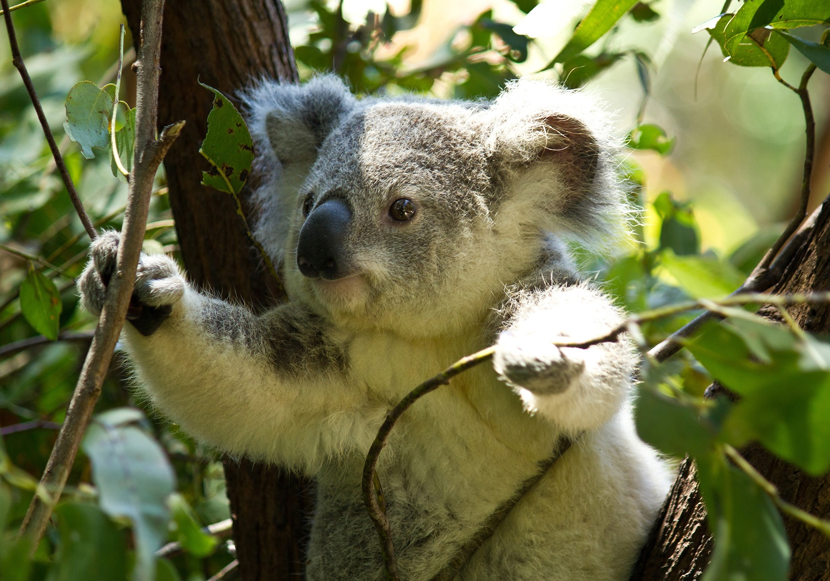 Koala-sensing drone helps keep tabs on drop bear numbers a koala