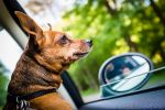 dog in car GettyImages 589153302
