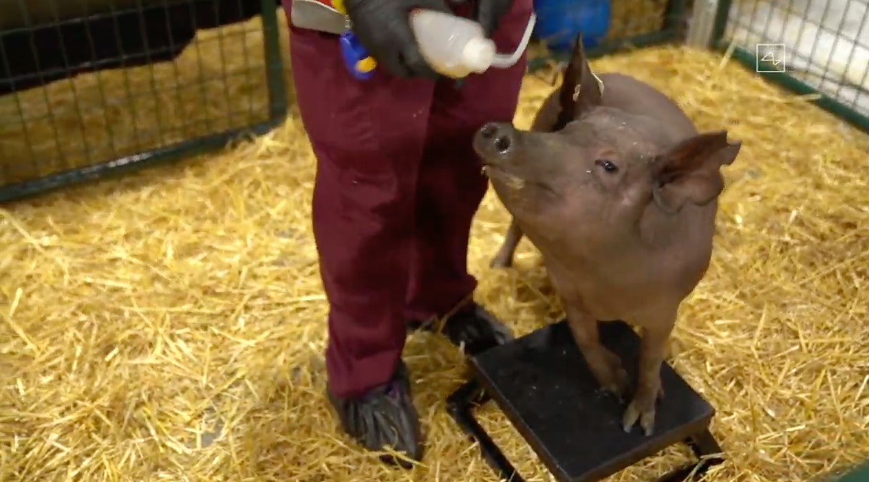 Elon Musk demonstrates Neuralink's tech live using pigs with surgically implanted brain-monitoring devices | TechCrunch