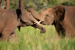 two elephants wrestling by Jes Lefcourt, EarthRanger Wildlife Conservation