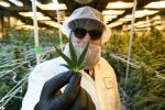 DENVER, CO - JANUARY 13: Michael McGraw, production manager, wearing protective clothing and hair and face netting, shows off the perfect leaf of a marijuana plant while he works in the flowering room at the LivWell Enlightened Health cultivation facility on January 13, 2020 in Denver, Colorado. Prices recently hit a 3-year high and have rebounded after a significant dip that caused many grows to close. We take a look at wholesale bud prices and what the fluctuations mean for the industry in 2020. (Photo by Helen H. Richardson/MediaNews Group/The Denver Post via Getty Images)