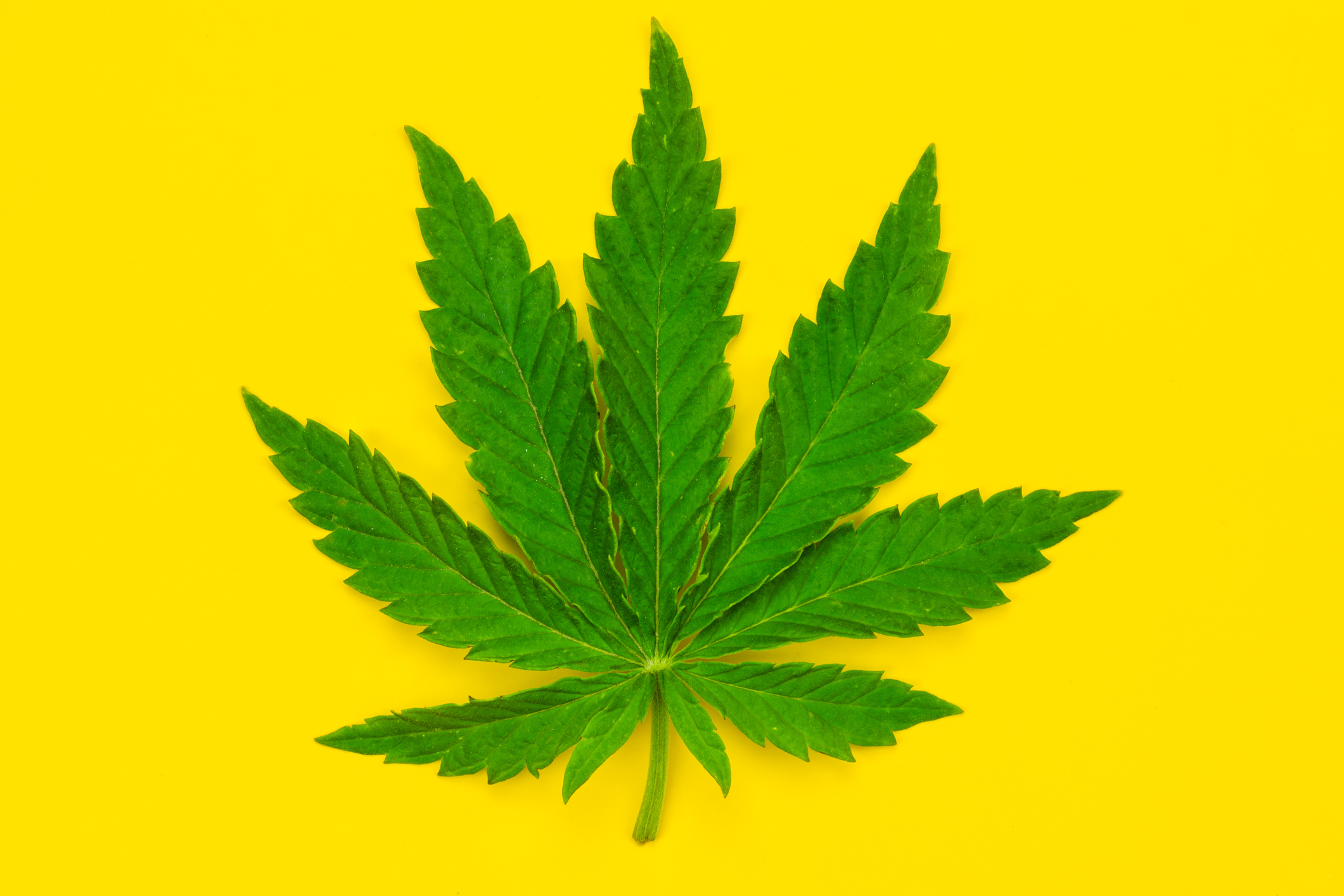 Marijuana leaf on a yellow background.