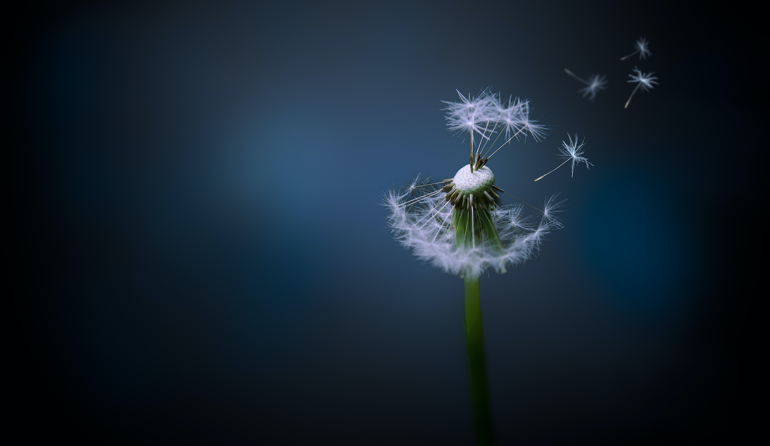 A picture of a Dandelion in the wind, with a background of cool blue colours, blurred from the narrow pane of focus. Composition made in photoshop. (A picture of a Dandelion in the wind, with a background of cool blue colours, blurred from the narrow