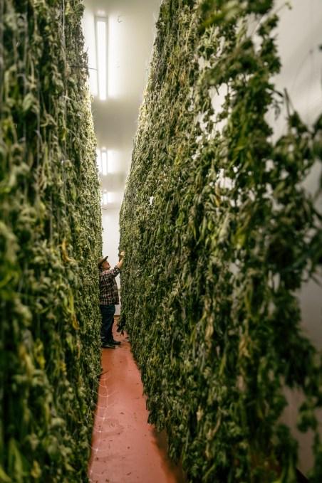 Jim Belushi pursues the magic of cannabis – TechCrunch